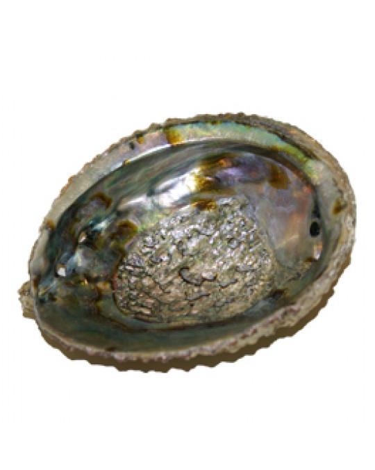 Abalone Muscheln als Räucherschalen
