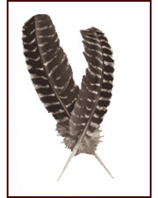 Grosse Wildtruthahn-Federn